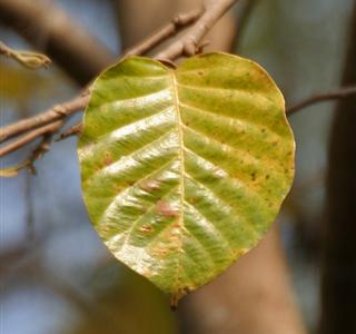 Lá già của cây sala
