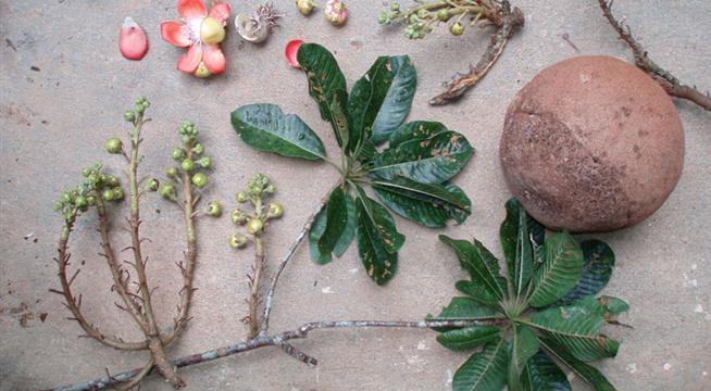 Lá, hoa và trái ngọc kỳ lân